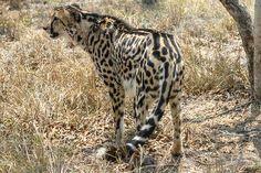 king-cheetah-esc_0338.jpg (600×400)
