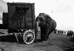 Circus Elephant placing wagon on location