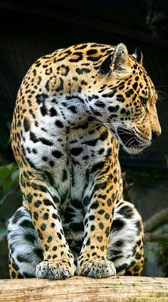 Wild-Diary: rica the jaguar hamish irvine wildlife Big Animals, Animals And Pets, Big Cats, Cool Cats, Beautiful Cats, Animals Beautiful, Big Cat Species, Jaguar Animal, Gato Grande