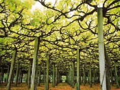 Vines reach for the southern sky on a raised trellis system in the Marlborough region of New Zealand's South Island