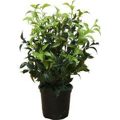 Brucs Mini Ficus Flowerpot (39 CAD) ❤ liked on Polyvore featuring home, home decor, floral decor, black, black flower pots, mini plant pots, artificial plants, faux plants and artificial silk plants