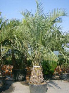 Butia capitata / Gewöhnliche Geleepalme – einstämmige Palme, die bis zu 8m hoch wird mit einer ausladenden Krone (bis zu 400cm breit). Die pflaumengroßen Früchte sind essbar und werden bis zu 3cm dick. Exotik und karibisches Flair pur!