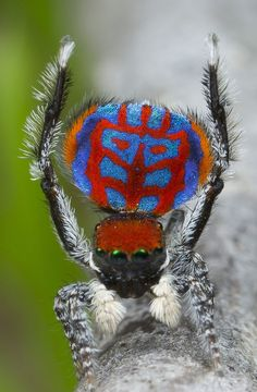 "Maratus bubo peacock spider: The group name ""bubo"" is based on the Latin genus name for the great horned owl (Bubo virginianus) — in reference to the owl-like design on the spider's dorsal plate."