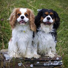 Cavalier King Charles Spaniels--the dogs I gave Sir Anthony in my fan fiction!