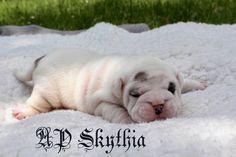 Bulldog Breeds, Bulldog Puppies, Continental Bulldog, English Bulldogs, Female, Animals, Puppys, Pet Dogs, Animales