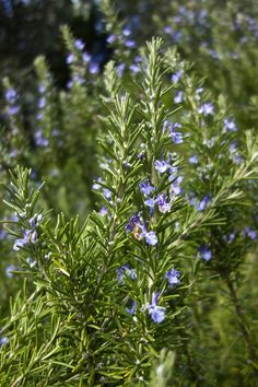 Not only does it help make roast potatoes taste amazing, rosemary and its little lilac-blue flowers are loved by honeybees and bumblebees #homesfornature