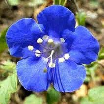 Desert Bluebells - Phacelia campanularia