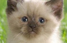 Adorable Ragdoll Kitten Click to see all the latest great pictures of cats and kittens from our Facebook page that are sure to bring a smile to your face. 'Like' us on Facebook to be the first to see these every day.
