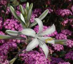 Desert Lily. The desert lilly does best when planted in sandy soils, making it ideal for a #desert #landscape.