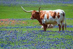 Ronald Varley - Google+   One of our famous Texas Longhorn's in a field of Bluebonnets (Texas State Flower) and Indian Paintbrushes (Oklahoma State Flower). There were several in this nice field but quite a ways back so had to pull out the telephoto lens.