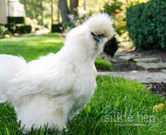 http://ahealthylifeforme.com/fun-facts-chickens/#_a5y_p=2363588