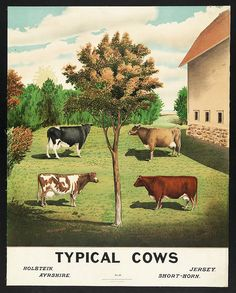"""19th century illustration that showcases four types of """"typical cows"""" 