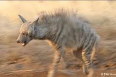 the Shunka Warak (American folklore) in may be a form of prehistoric mammal called the Borophagus, an ancient hyena like canine known to inhabit North America more than 13 thousand years ago during the Pleistocene era. A later theory, which could only explain the 2005 to 2006 encounters, is that the creature shot in Montana was genetically altered and raised in captivity only to later escape its creators. The truth is we may never know what the Shunka Warak in is, or was, all we can do is…