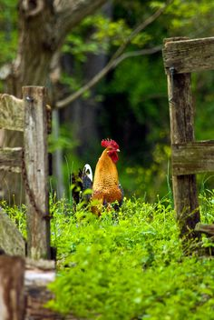 Rooster in Spring Green