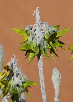 Description:Flower head . Great looking desert plants