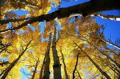 golden aspens Aspen