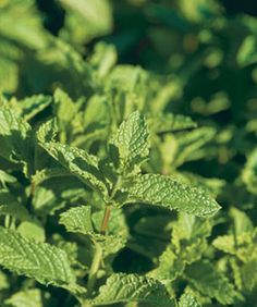 I love growing mint! This is great info Containing Mint and Pruning