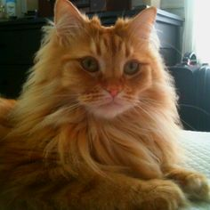 Whenever I get my next kitty, it will absolutely be a long-haired marmalade cat - just like Tico, my childhood cat.