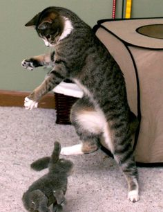 cute tabby cat jumps and pounces on bunny
