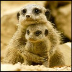 Meerkat loving her baby
