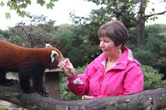 Yep! Jo Paige, Catering Manager at Paradise Park, is certifiably trained now in hand feeding me :-). Here I am rewarding her good behavior with some red panda lovings!