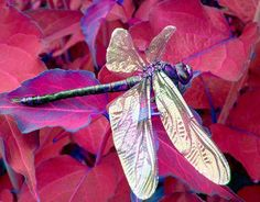 Dragonfly in red Fall foliage