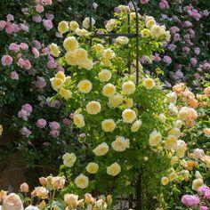 The Pilgrim...... English Rose - bred by David Austin #DavidAustinRoses #GardenRoses #ClimbingRose