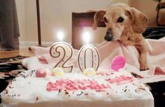 Celebrating 20 years of life :-) and its a doxie :-) This is soooooo adorable!!!