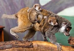 Busch Gardens' baby mongoose lemurs. Yes, these are twins and they are riding on their mom's back.