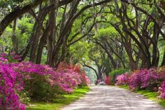 oak trees south louisiana -