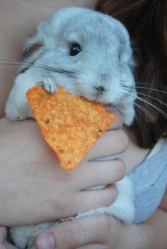 Everybody loves doritos >>uh, cutest chinchie ever, but Doritos are kind of a no-no.
