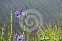 Blue Wild Iris (Iris Setosa) - Download From Over 26 Million High Quality Stock Photos, Images, Vectors. Sign up for FREE today. Image: 32162284