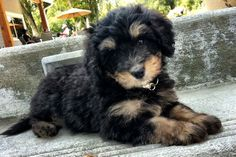 The dog of my dreams! A Bernedoodle (Bernese Mountain Dog and a Poodle mix)