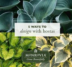 Designing with Hosta