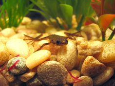 african dwarf frog-got to get a tank of these little guys I miss having them so much Nano Aquarium, Aquarium Fish, African Frogs, Dwarf Frogs, Pet Frogs, Funny Frogs, Tiny Turtle, Aquarium Decorations, Frog And Toad