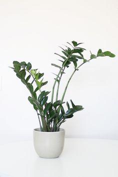 The Plant Series | ZZ Plant | Hello Lidy