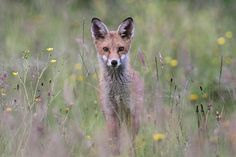The Other Cub by Dan Belton ( NO BADGER CULL ), via Flickr