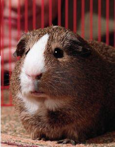 Unique Guinea Pig Cages | Guinea Pig Cage Accessories