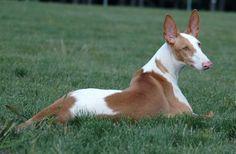 Perros Podenco Ibicenco