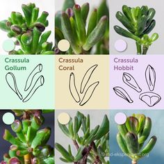 How can we distinguish the popular sorts of Crassules Crassula Hobbit, Crassula Coral, Crassula Gollum by the shape of the leaves Types Of Succulents, Cacti And Succulents, Planting Succulents, Cactus Plants, Jade Tree, Bonsai Styles, Crassula Ovata, Jade Plants, Succulent Gardening