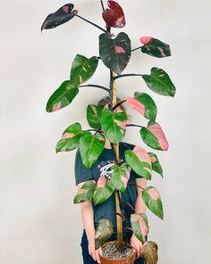 Inside Plants, Room With Plants, House Plants Decor, Cool Plants, Rare Plants, Exotic Plants, Tropical Plants, Types Of Houseplants, Pink Plant