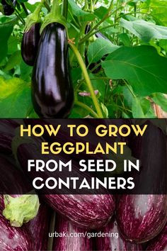 I will be showing how to grow Eggplant aka Aubergine aka Brinjal from seed in containers. Aubergine is a tropical fruit that takes some care to grow in the UK or colder climates but is simple in warmer countries so in this video I will include temperatures, growing mediums, containers, and the best way to grow healthy plants. #urbakigardening #gardening #eggplant #groweggplant #eggplantseed #effplantcontainers
