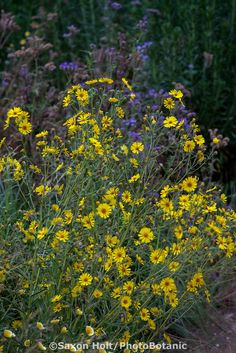 131 best great plants for socal gardens images on pinterest madia elegans elegant tarweed yellow flowering wildflower with california native plants in pollinator garden at los angeles natural history museum mightylinksfo