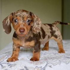 Daschund Puppies For Sale, Miniature Dachshund Breeders, Dapple Dachshund Puppy, Dachshund Puppies, Dachshund Love, Cute Dogs And Puppies, Baby Dogs, Dachshunds For Sale, Miniature Puppies
