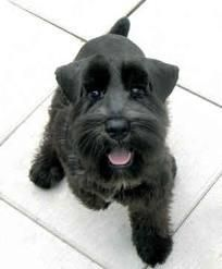 schnauzer puppy-she looks like my Goof in the snout/mouth/nose. I miss my sweet girl...