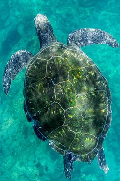 Dance with me sea turtle  by Cedric Jacquot