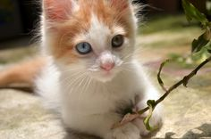 #awesome #beautiful #blue eyes #conceptual #cool #fur #grass #green #holding #joyful #kindly #kitten #kitty #leaves #little #living #love #natural #nice #orange #paws #playful #small #van turkish #white