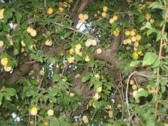 Μπολιάζοντας κορομηλιές, του Αθ. Θεοδωράκη Fruit, Plants, Plant, Planets