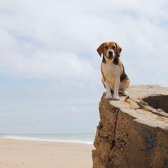 SuperDog! #beagle