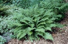 Robust Male Fern  Dryopteris felix-mas 'Undulata Robusta'  Upright, stately fronds have distinctive undulated edges. Thicker foliage remains green in winter and holds up well in rainy climates. Excellent for naturalizing in woodlands, semi-formal shade gardens and sheltered foundation plantings. Semi-evergreen.      Key feature:Shade Loving  Plant type:Fern  Deciduous/evergreen:Semi-evergreen  Cold hardiness zones:4 - 8  Light needs:Full to partial